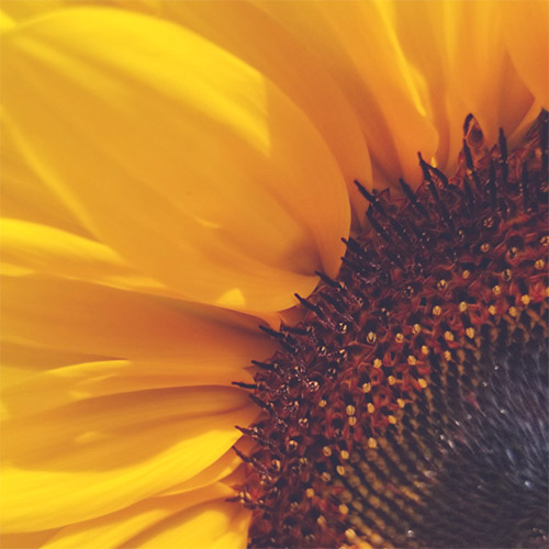 This year at the Sunflower Festival, we will have a separate u-pick field available for you to purchase your own cut sunflowers to take home!