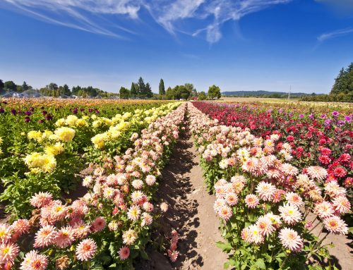 48 Varieties of Dahlias Coming to the Chilliwack Sunflower Festival