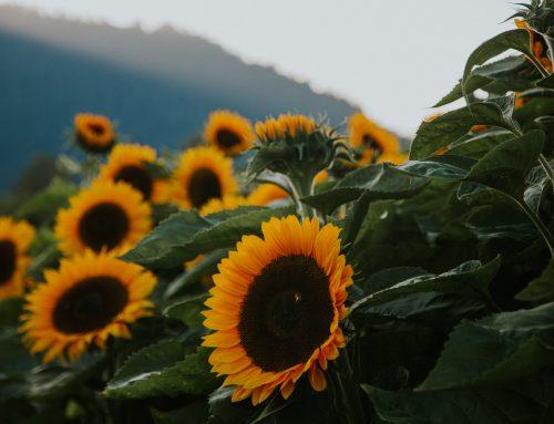 Lytton Residents: Visit the Chilliwack Sunflower Festival ON US!