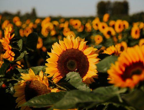 The Chilliwack Sunflower Fields Bloom Again