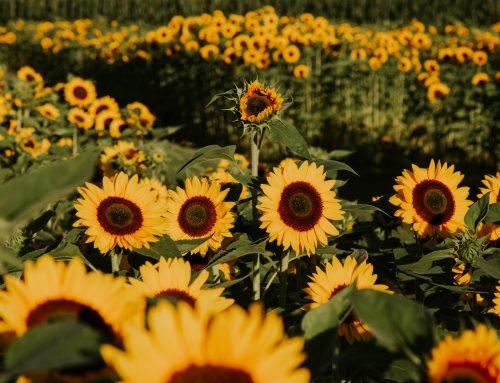 The 2021 Chilliwack Sunflower Festival Returns!